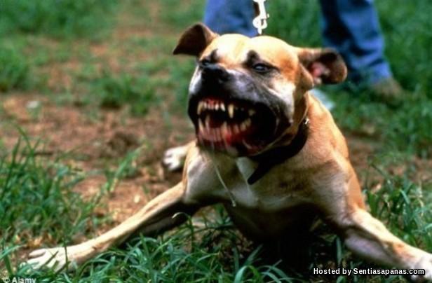 Penyakit Anjing Gila