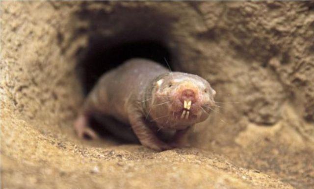World s ugliest animal the naked mole rat damn cool for Immagini talpa