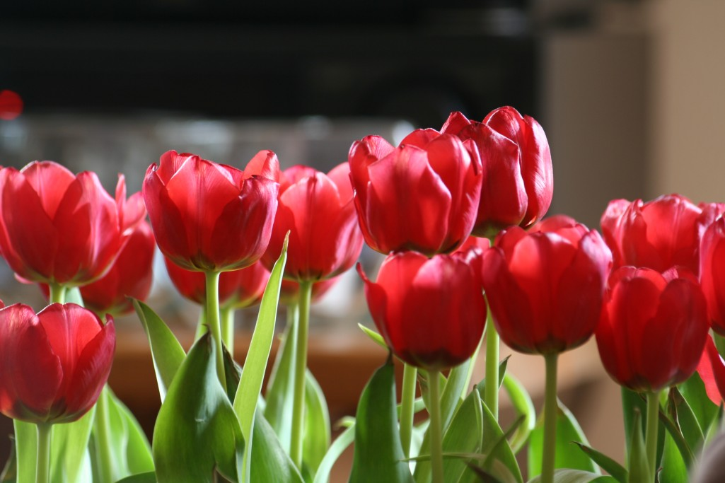 Pictures Border Bunga Tulip Wallpapers - quoteko.