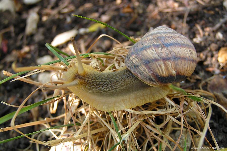 Виноградная улитка | Snail
