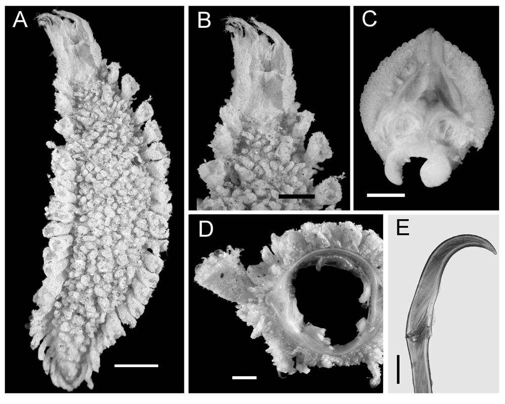Flabelliderma Ockeri, a polychaete worm named in honor of David Ocker by Sergio Salazar-Vallejo