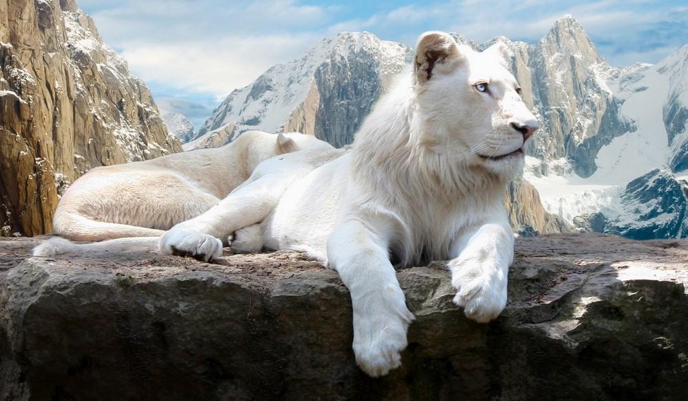 Vahşi Beyaz Aslan HD Resimleri