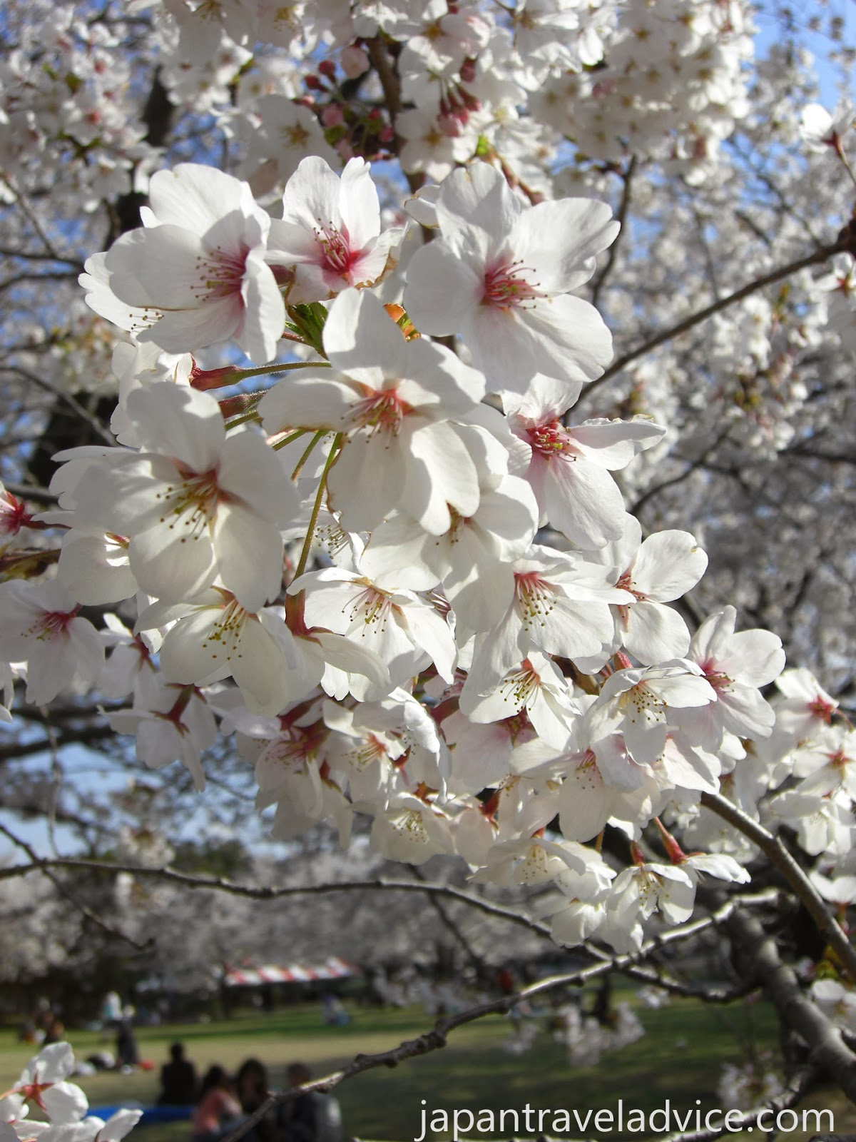 Best Spots for Cherry Blossoms in Gifu / Aichi