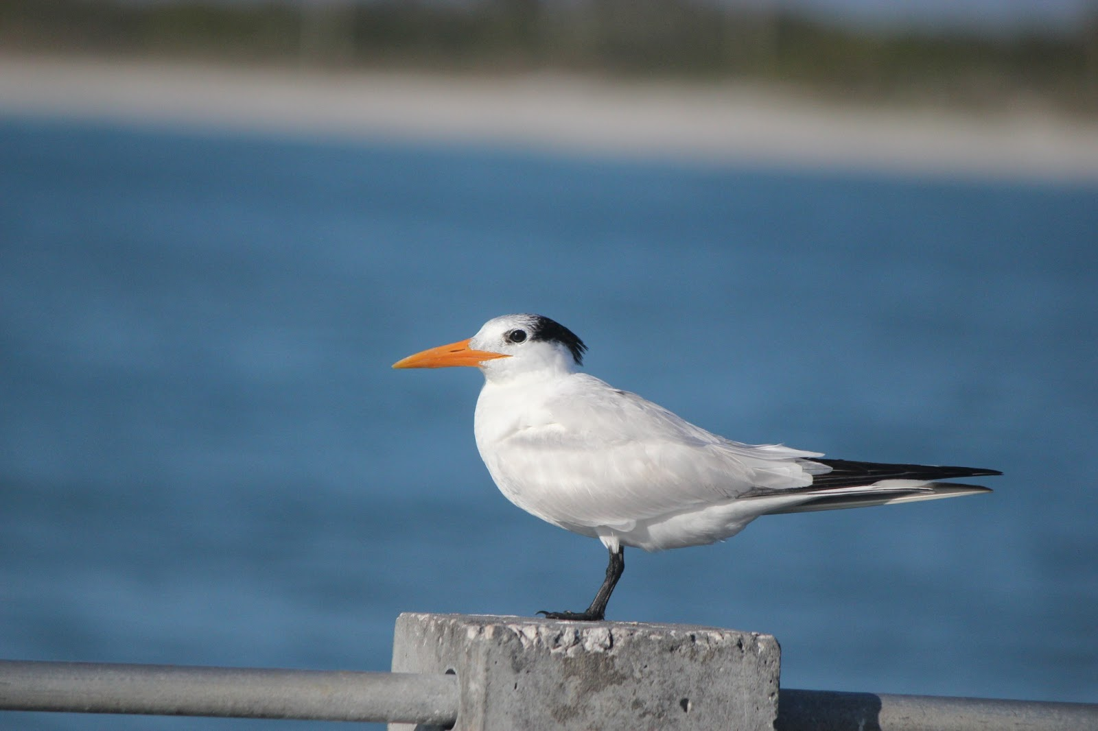 Pinellas county parks fort de soto park royal tern at fort de soto pier nvjuhfo Images