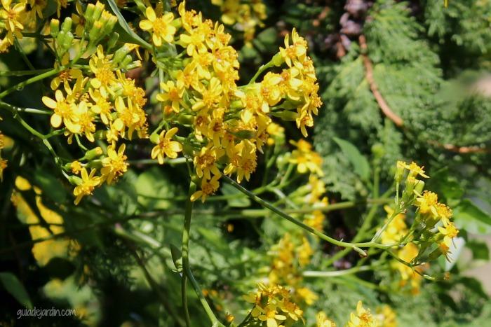 Senecio tamoides una planta trepadora que florece en for Plantas trepadoras de jardin