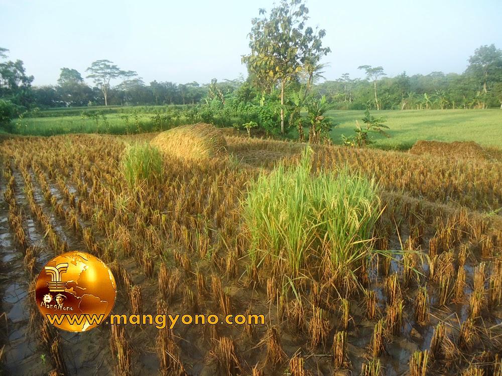 FOTO : Panen padi 9 – Tanaman padi yang masih hijau sengaja gak dipotong, menunggu bulir – bulir padinya menguning.