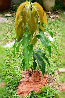 menanam-pohon-mangga-cangkokan.jpg