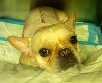 cirurgia de coluna em cães