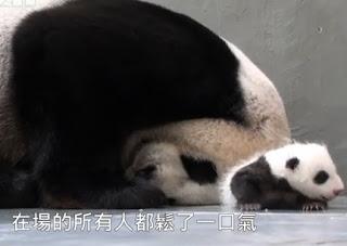 osa panda con su bebe por primera vez juntos