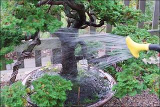 air untuk bonsai