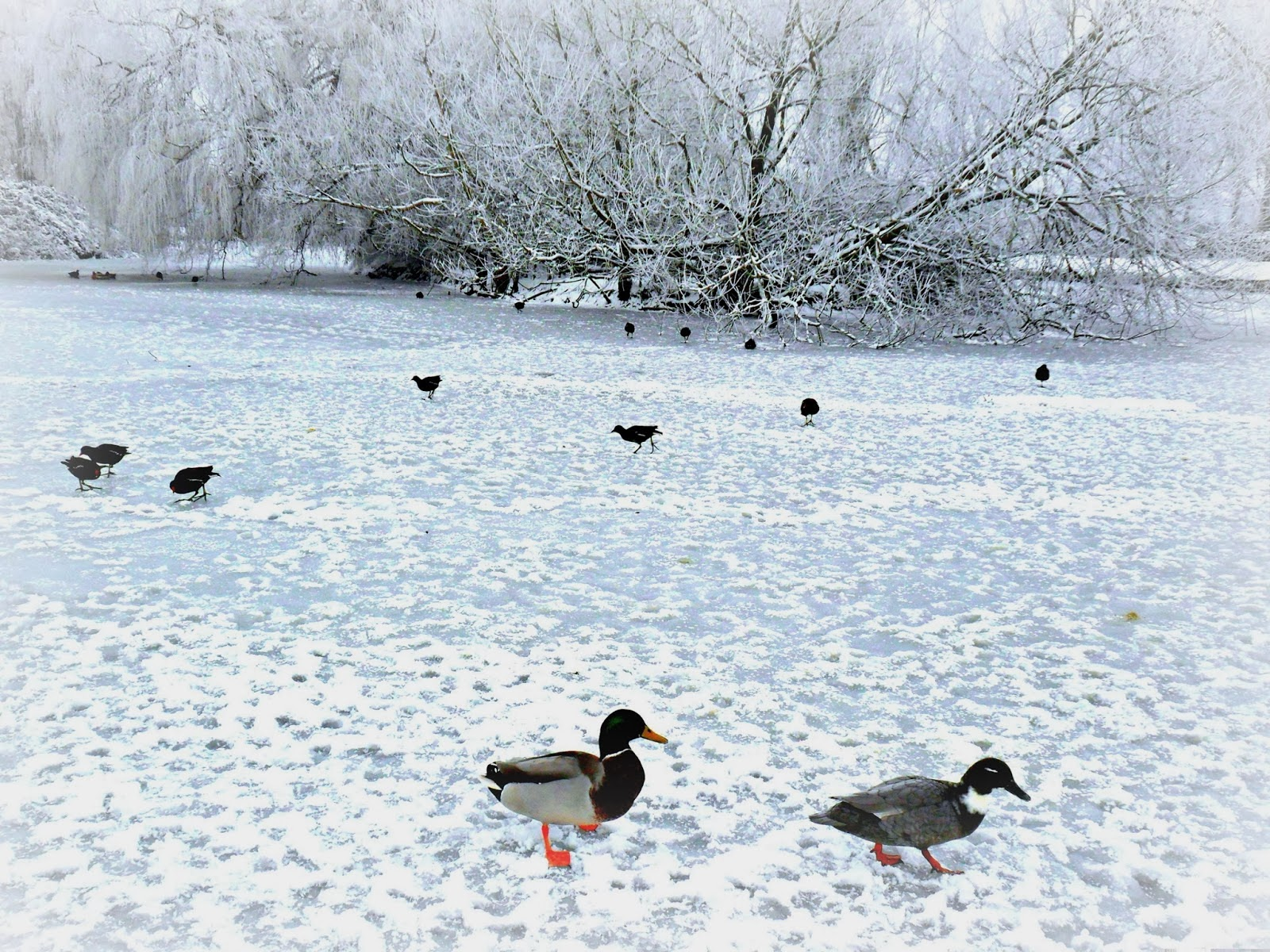 Ducks On Icy Pond In Winter