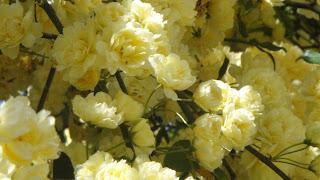 Lady Bank Rose Yellow