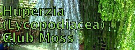 Huperzia (Lycopodiaceae) club moss