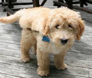 Cute Dogs Golden Retriever Poodle Mix