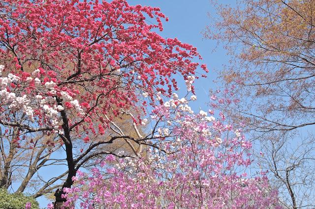 Sakura at Tenryu-ji