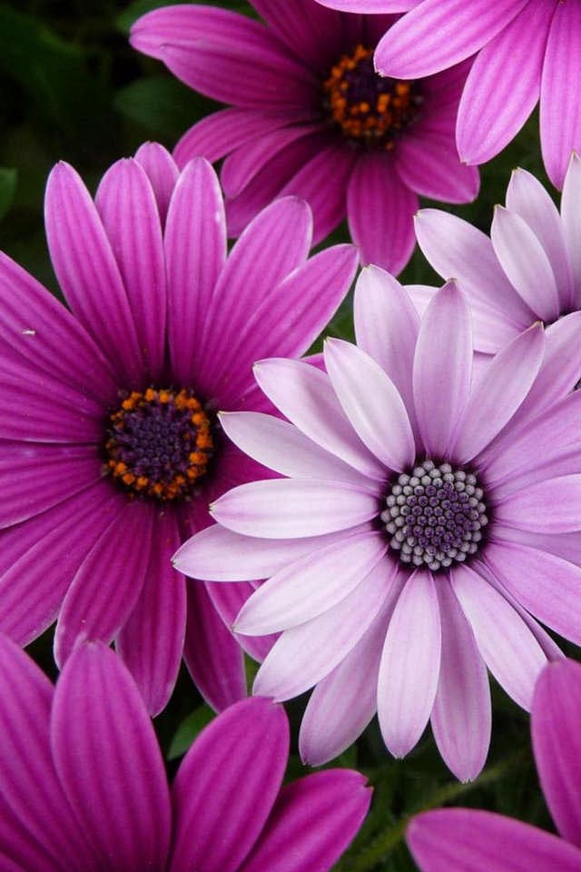 high quality flower wallpapers iphone wallpapers