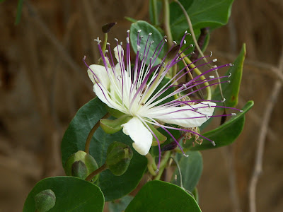 Capers (Capparis Spinosa) Overview, Health Benefits, Side effects