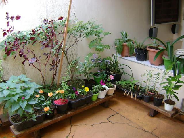 meu quintal meu jardim : meu quintal meu jardim: uma Sementeira: Um pouco do meu jardim e árvores floridas em Uberaba