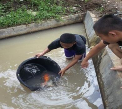 perikanan: budidaya ikan mas di kolam beton
