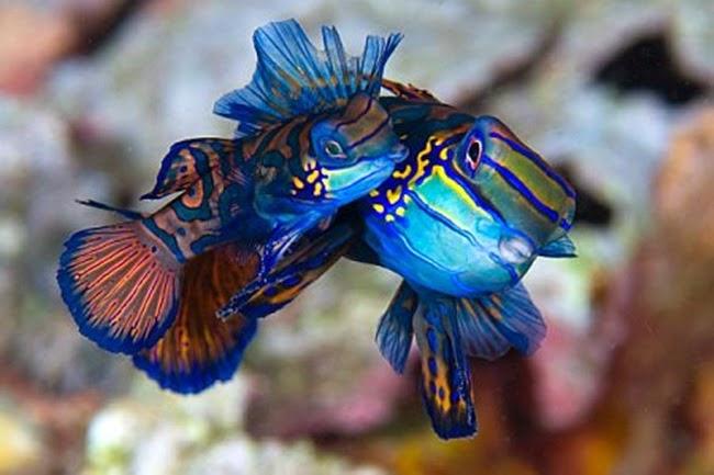 أجمل الأسماك الاستوائية الملونة   - صفحة 2 Colorful-tropical-fishes-21