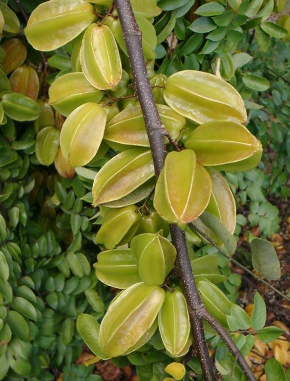 Star Fruit Carambola