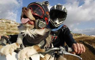 anjing lagi naik motor