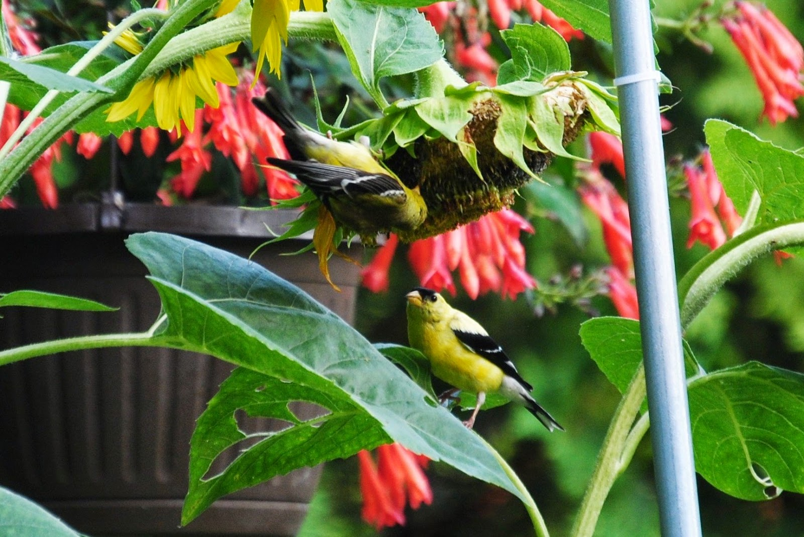 male and female goldfinch on sunflower