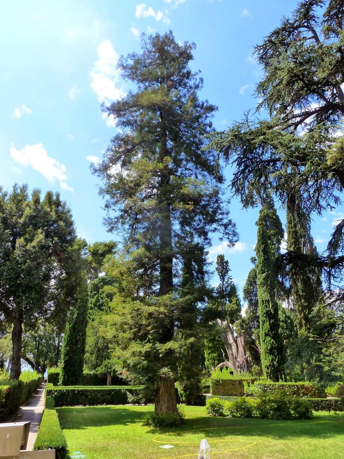 rboles con alma sequoya roja sequoia sempervirens