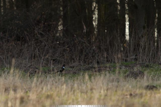 Beflijster - Ring Ouzel -Turdus torquatis