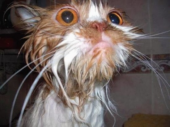 CristiansPhoto: Galleria di Gatti Bagnati Divertenti - Cats Wet