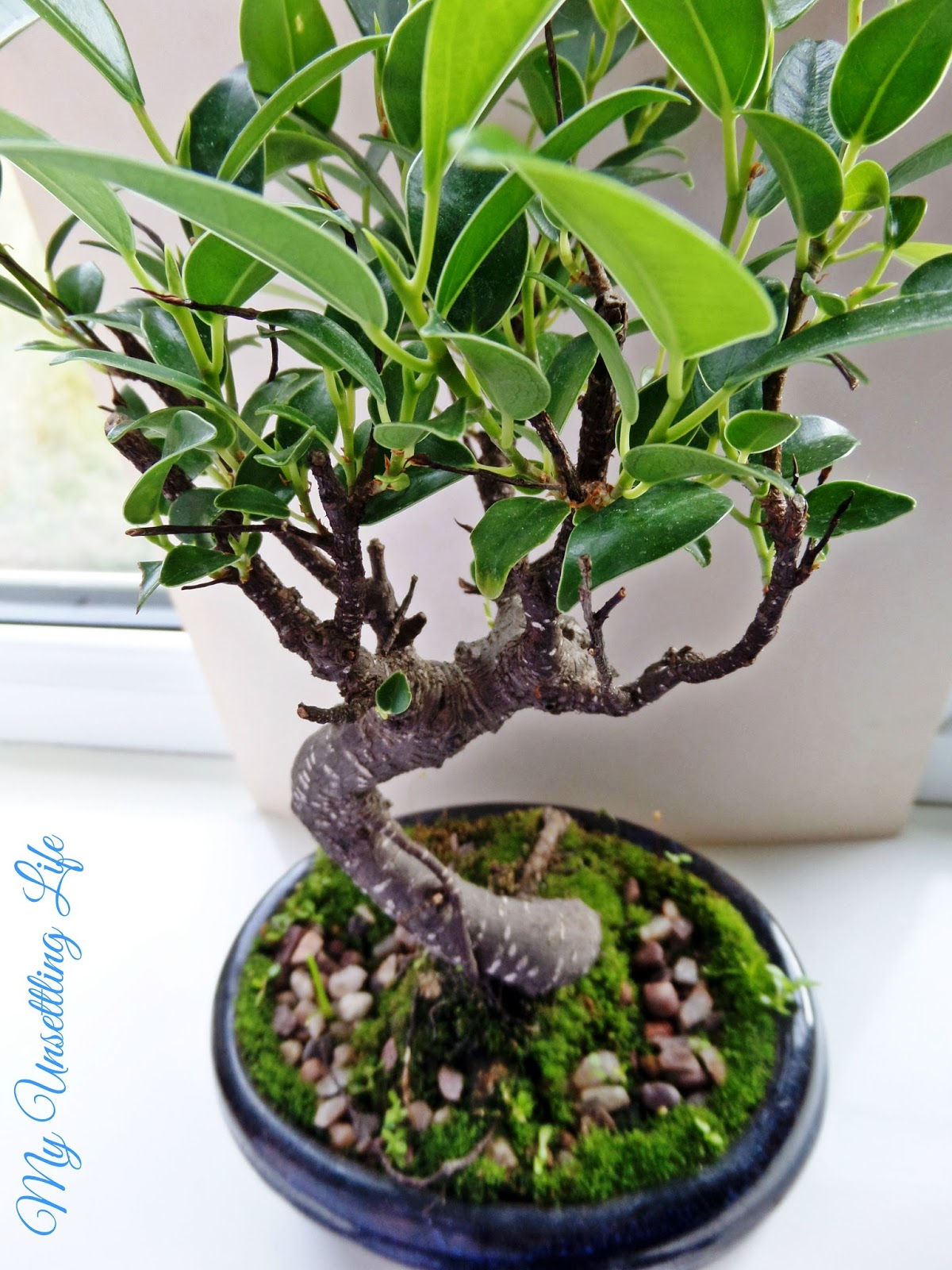 How to take care of a bonsai tree - How To Water A Bonsai