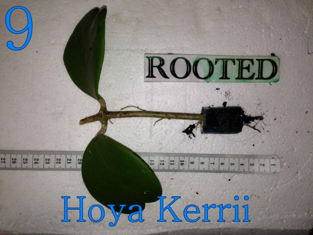 Epiphyllum Hoya Stapelia