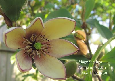 Annieinaustin Magnolia figo flower