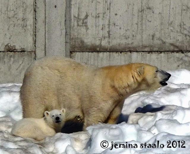 Jääkarhuja!