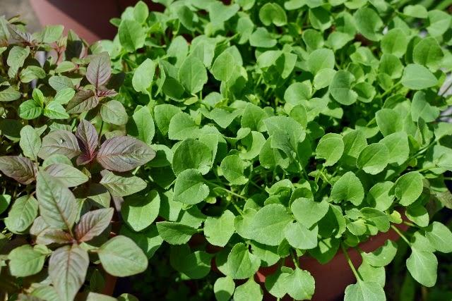 Chukkakura (Green Sorrel/ Khatta Palak)