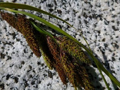 [Cyperaceae] - Carex