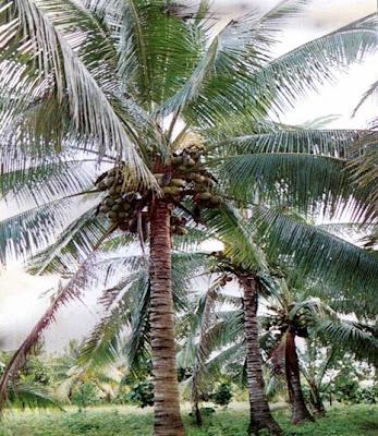 khasiat buah kelapa