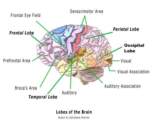 Human Brain Diagram Labeled Human Brain Diagram