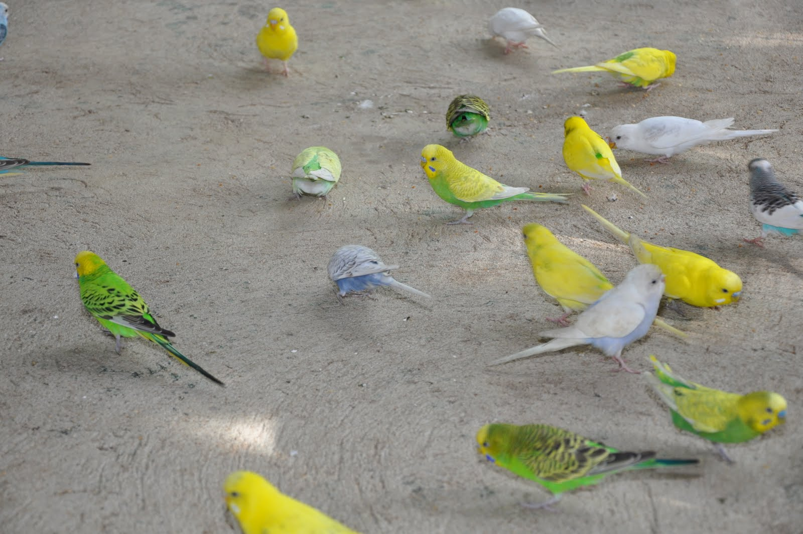 Displaying 20 gt images for cute baby parakeets