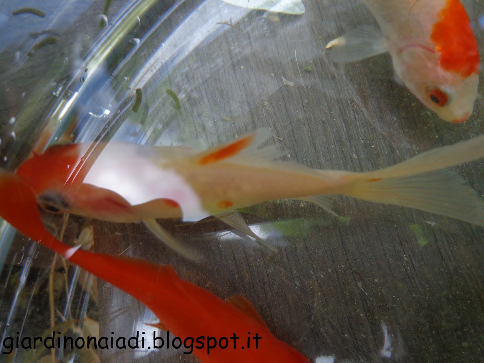 Il giardino delle naiadi carassius auratus pesce rosso for Pesci rossi quanto vivono