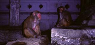 Affen am Tempel Pashupatinath