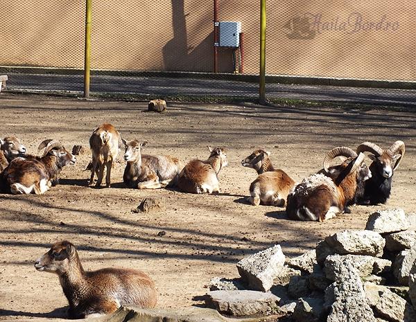 mufloni zoo braila