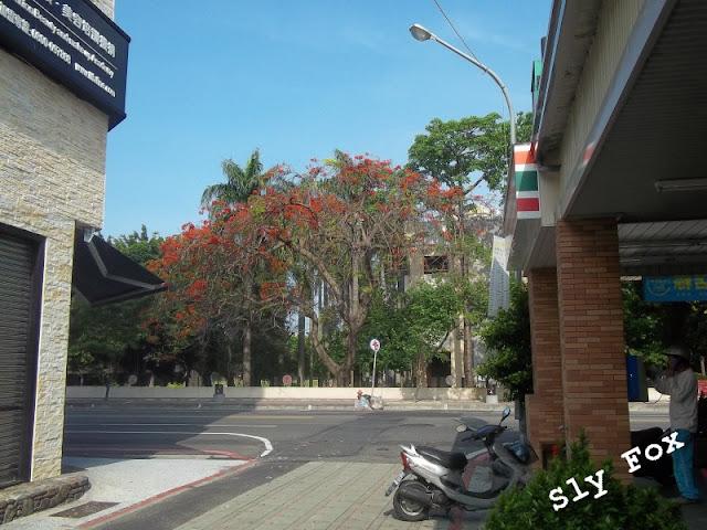 台南南門路鳳凰木