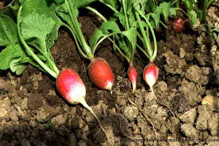 benefits_of_eating_radishes_fruits-vegetables-benefits.blogspot.com(benefits_of_eating_radishes_6)