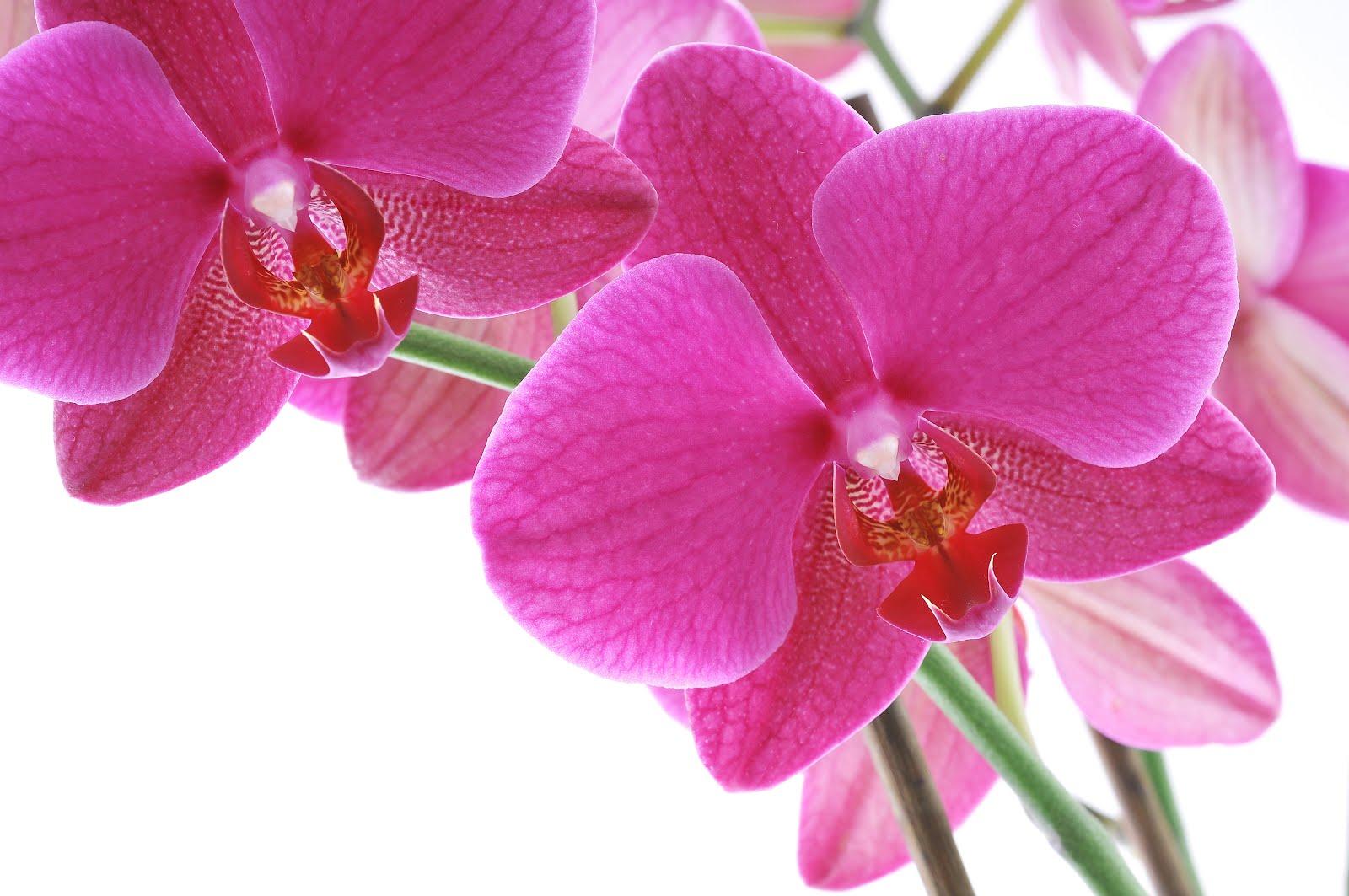 Esplendores de la naturaleza: Orquideas Descargar Gratis - Fotos Flores Orquideas Gratis