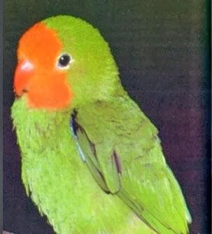 lovebird muka merah