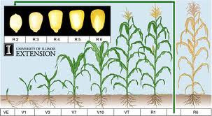 anthesis in corn Anthesis to silking interval usefulness in developing drought tolerant silking interval usefulness in developing interval usefulness in developing drought.