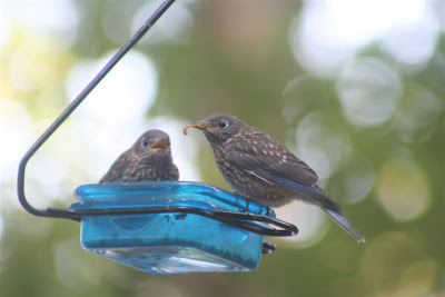 bluebirds feeding mealworms to babies