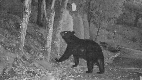 Black Bear Visits Bird Feeder