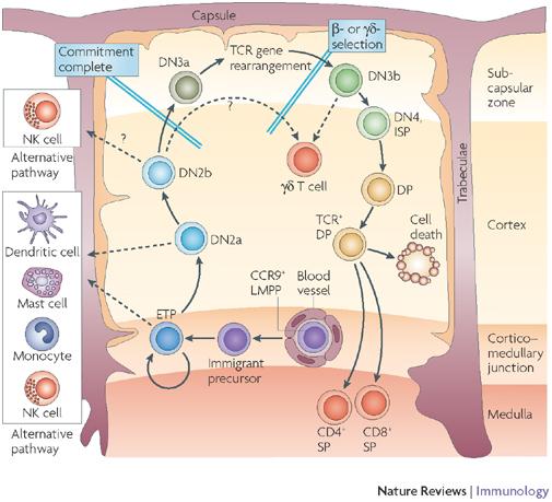 immunology | immune system| immunity: thymus-primary lymphoid, Human Body